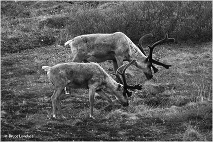 black and white caribou.