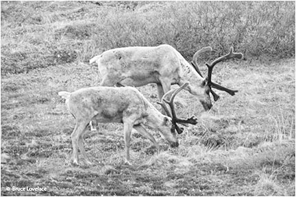 caribou in black and white