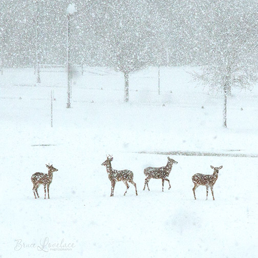 Deer playing in snow