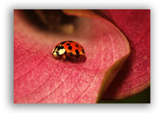 Photo of a Lady Bug to Show Narrow Depth of Field
