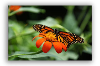 Monarch Butterfly Photo Used to Show as an Example of Shallow Depth of Field