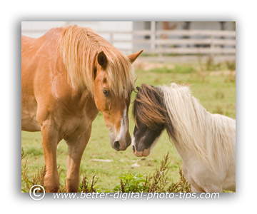 Horses nose to nose