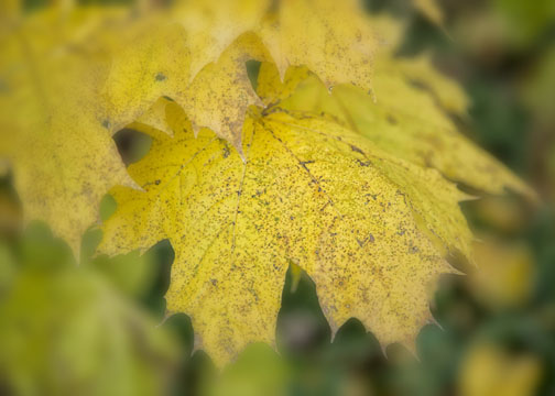 Close-up of yellow maple leaf with Nik Software filters applied