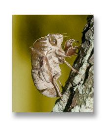 Beginner's macro photography of a cicada