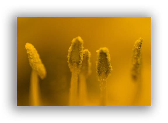 Yellow Anthlers - Macro Photography Lighting