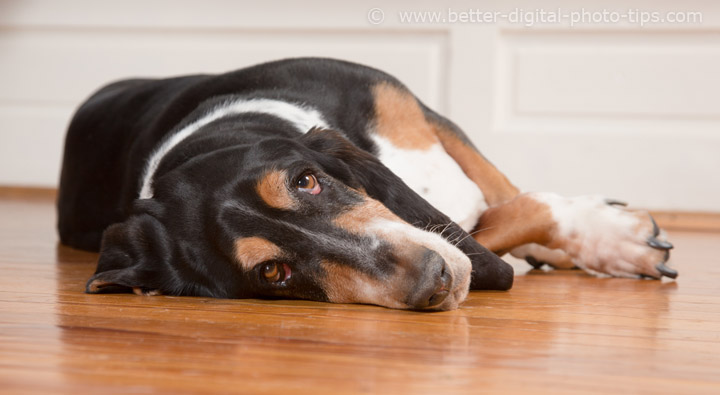 Photography Composition Tips With Pets - Basset Hound