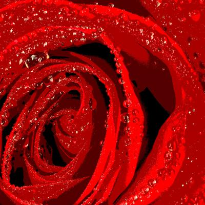 Red rose abstract photo