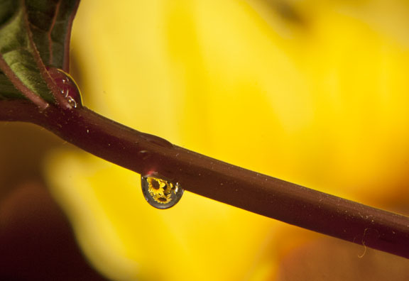 Close-up photo of water drop and sunflowers