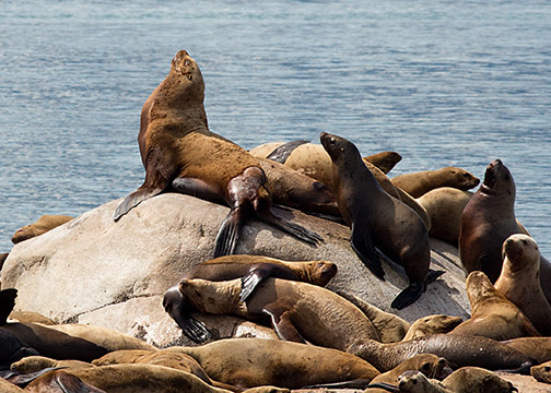 Cropped photo of sea lions from a photo trip to Alaska.