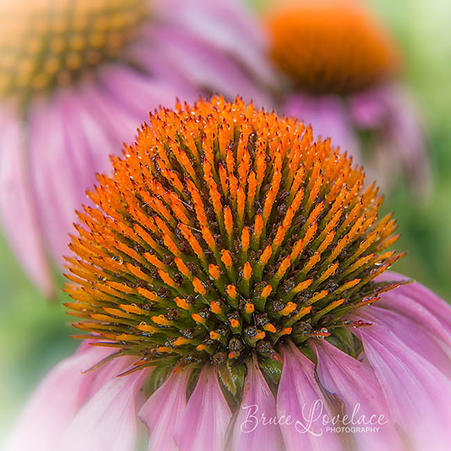 Picture of cone flower