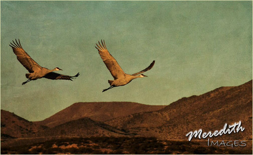 Hazel Meredith textured photo of geese