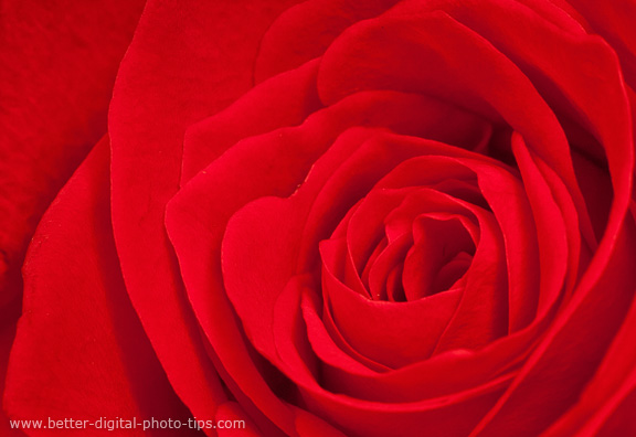 Choosing a red rose as a subject for macro photography is always a good idea