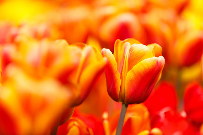 Close-up of tulips - Photo courtesy of publicdomainpictures.net