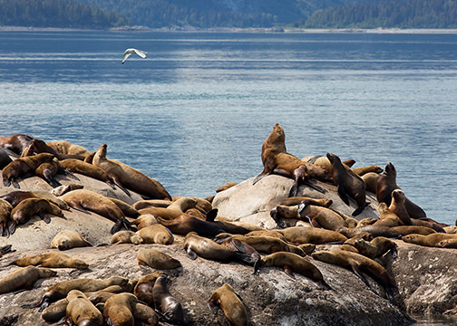 Un-cropped photo of sea lions from a photo trip to Alaska.