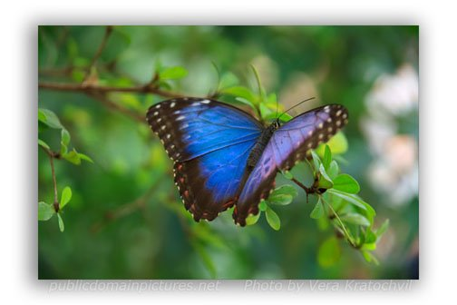 Examples of depth of Field-Blue Morpho Butterfly