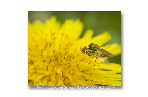 Intimate photography of dandelion and common house flies